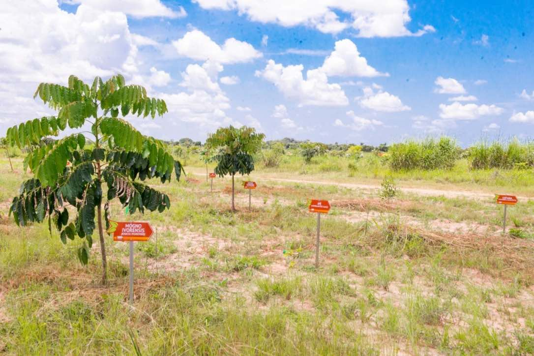 Planting native species in the African mahogany forest